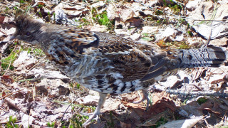 As we tried to walk away, this grouse followed along with us, getting close each time we stopped. (Kate Goodin photo)
