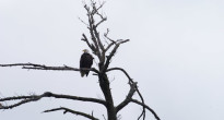 Adult bald eagle not far from its nest.  Patricia Lyon-Surrey photo