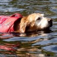 "Exercising an older dog can be difficult; long sessions can make them sore. Can a ""float coat"" make swimming a safe aerobic activity?"