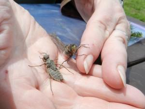 Dragonflies emerging. photo ( Deborah Lee Luskin/EasternSlopes.com)