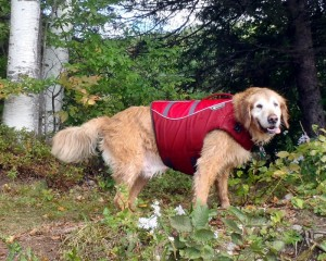Exercising your older dog with a Ruffwear K-9 Float Coat.